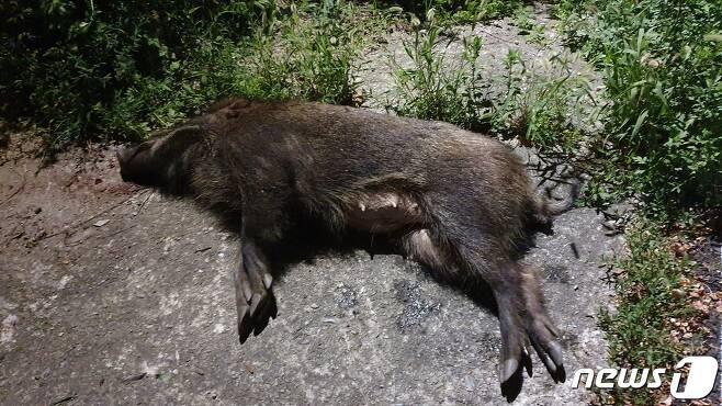 춘천 봉의산에서 포획한 야생 멧돼지.(춘천시 제공)© 뉴스1