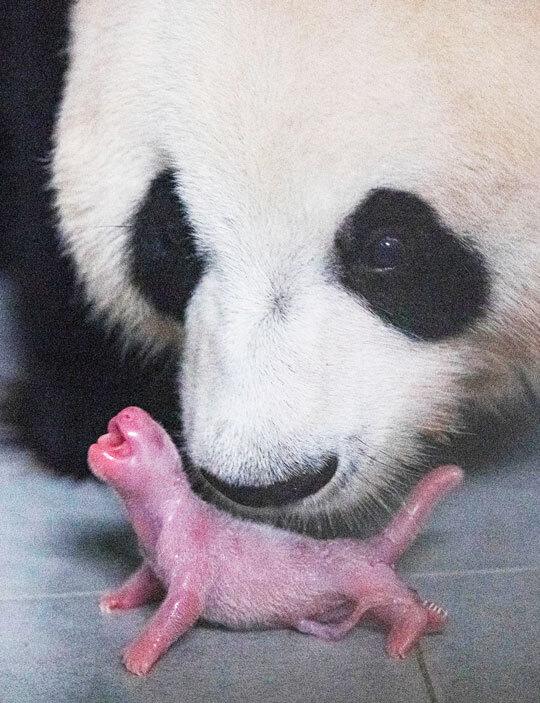 197g 판다 - 국내 유일의 판다 한 쌍인 암컷 아이바오와 수컷 러바오 사이에서 태어난 아기 판다. /에버랜드