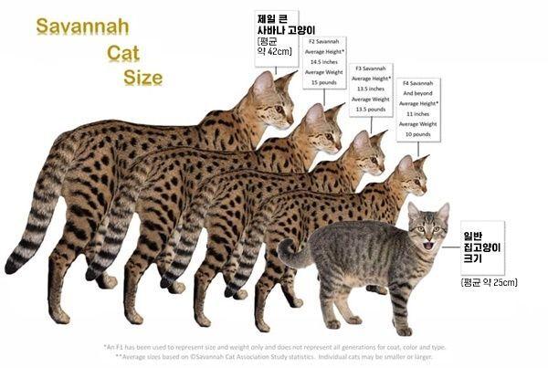 왼쪽부터 F1, F2, F3, F4, 집고양이. F1이 서벌 종 혈통 비중이 가장 높다.