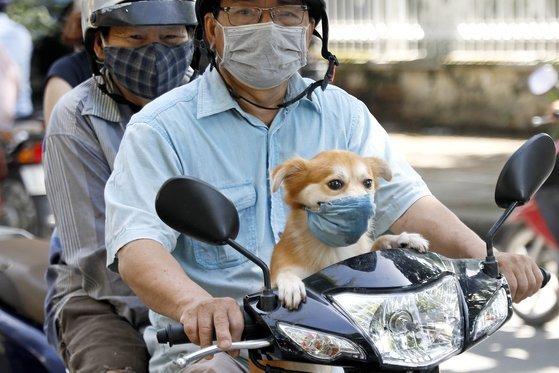 지난 11일 베트남의 하노이 거리에서 반려견에 마쓰크를 씌운 시민이 오토바이를 몰고 있다. [EPA=연합뉴스]