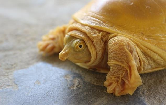 네팔에서 발견된 상자 자라 종의 '황금 거북'