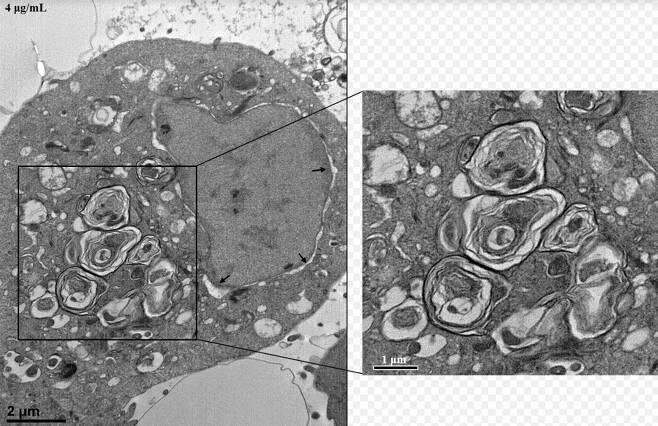 사람 기관지 상피 세포에서 발견된 라멜라 구조. (경희대 동서의학연구소 제공) 2020.8.24/뉴스1