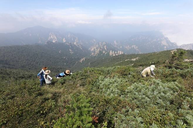 지난 20일 설악산 정상 인근에서 <한겨레> 취재진과 공우석 경희대 교수, 국립수목원, 국립공원공단 관계자들이 남한에선 이곳에서만 자생하는 빙하기 식물들을 살펴보고 있다. 박종식 기자 anaki@hani.co.kr