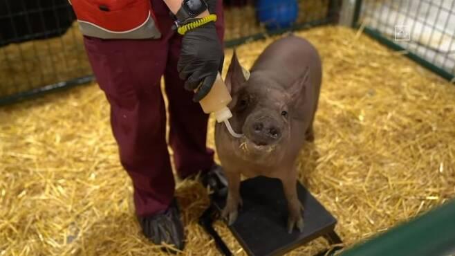 뉴럴링크의 칩 '링크 0.9'를 뇌 속에 이식한 돼지 '거트루드'가 이달 28일 뉴럴링크 미국 샌프란시스코 본사에서 열린 시연회에서 공개됐다. 거트루드는 물을 마시는 등 다른 돼지와 다를 바 없는 행동을 선보였다. 뉴럴링크 유튜브 캡처