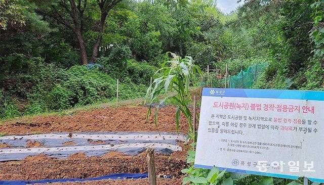 대전 유성구 반석역 인근 도심공원에서 불법 경작을 금지하고 과태료를 부과하겠다는 안내판 주변에서 수백 평의 불법 경작이 이뤄지고 있다. 이기진 기자 doyoce@donga.com