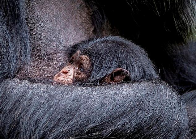 어미 품에 안겨 있는 멸종위기 새끼 서부 아프리카 침팬지(사진=체스터동물원)
