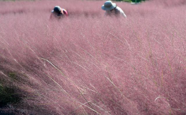 완연한 가을 날씨를 보인 10일 전북 익산시 신흥근린공원에 핑크뮬리가 만개해 아름다운 자태를 뽐내고 있다. 익산 신흥근린공원은 13일부터 시민들에게 무료로 개방된다. 뉴시스