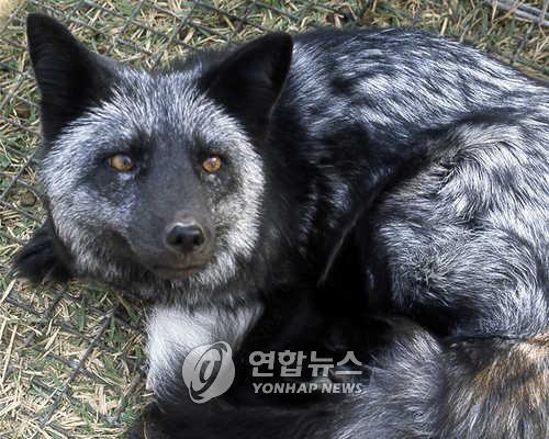 늑대개 [연합뉴스 자료 사진]