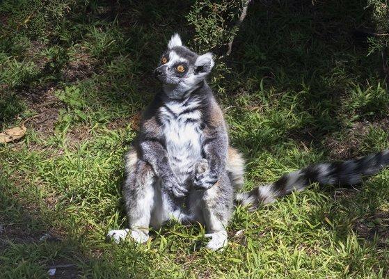 샌프란시스코 동물원은 여우원숭이 마키를 찾아준 것에 대한 보답으로 제임스 트린에게 평생 동물원 무료 이용권을 주기로 했다. [AP=연합뉴스]