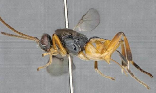 세계 최초 잠수 가능한 신종 벌, 일본서 발견