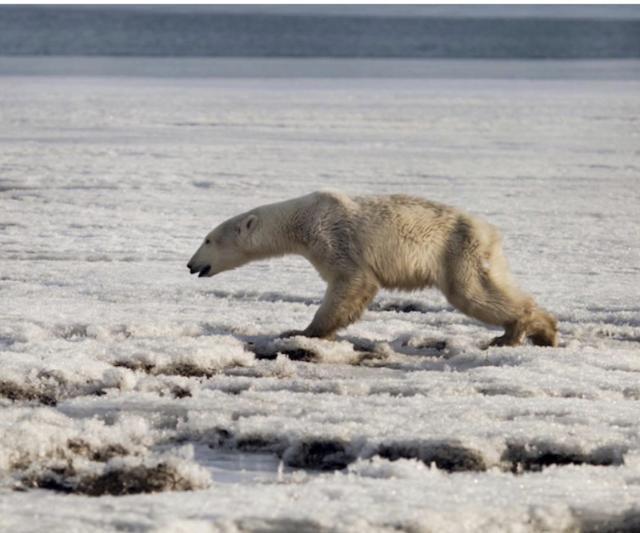 러시아 페트로파블로스크에서 북쪽으로 약 940㎞ 떨어진 틸리치키 인근에서 지쳐보이는 북극곰이 먹이를 찾아 마을을 배회했다고 전했다. 틸리치키=AP 연합뉴스