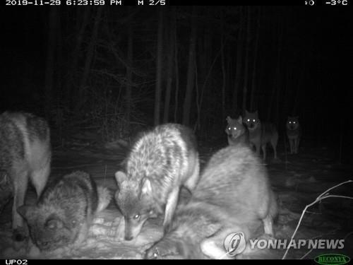 무인카메라에 잡힌 보야저 국립공원의 늑대 무리 [Tom Gable/Voyageurs Wolf Project via AP=연합뉴스]