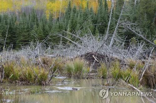 숲속의 물길을 막아 댐을 건설한 보야저국립공원 비버 [Tom Gable/Voyageurs Wolf Project via AP=연합뉴스]