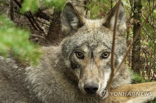 GPS 목걸이를 찬 보야저 국립공원 늑대 V092 [Tom Gable/Voyageurs Wolf Project via AP=연합뉴스]