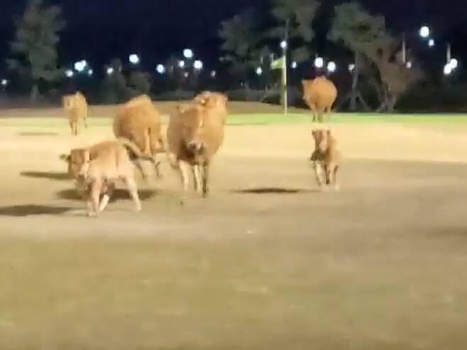 지난 20일 경남 창원시 한 골프장에 몰려 온 소떼가 잔디밭 위를 뛰어놀고 있다./연합뉴스