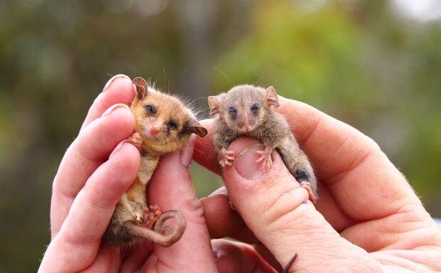 태즈메이니아피그미주머니쥐는 손가락 하나 크기로 세계에서 가장 작은 주머니쥐다. 무게가 겨우 7g에 불과할 만큼 몸집이 작아 식별 자체가 어렵고 연구도 쉽지 않다. /사진=캥거루섬야생동물센터