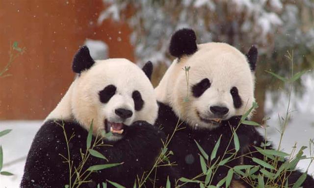 미국 워싱턴DC 스미스소니언 국립동물원의 판다 메시샹(왼쪽)과 톈톈.스미소니언 동물원 제공