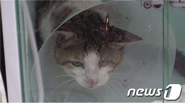 동물자유연대가 구조 한 머리에 화살을 맞은 길고양이. © 뉴스1 DB