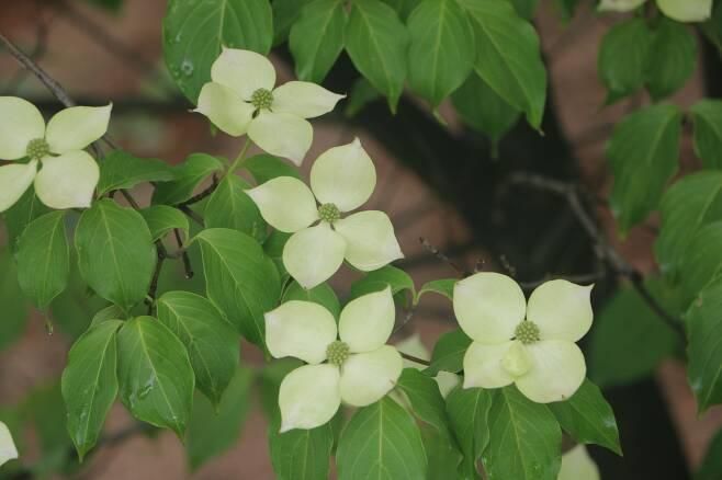 산딸나무 꽃.
