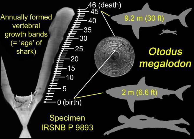 연구진은 메갈로돈 척추 화석의 성장 고리를 분석해 어미 몸 밖으로 나왔을 때의 몸길이가 2m에 달했다는 점을 알아냈다.(사진=시마다 겐슈 교수 제공)