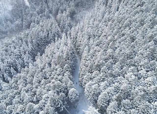 드론으로 본 축령산 편백숲 설경. 타이가 지역의 상록수림 못지 않은 풍광이다.