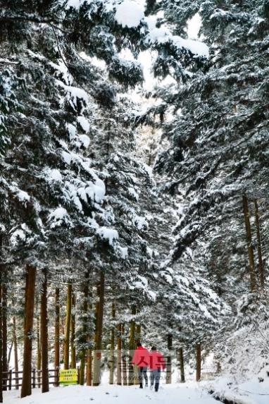 장성치유의숲 산책로 모습. 편백나무가 만든 수직세상 속을 걷는 재미가 아주 쏠쏠하다.