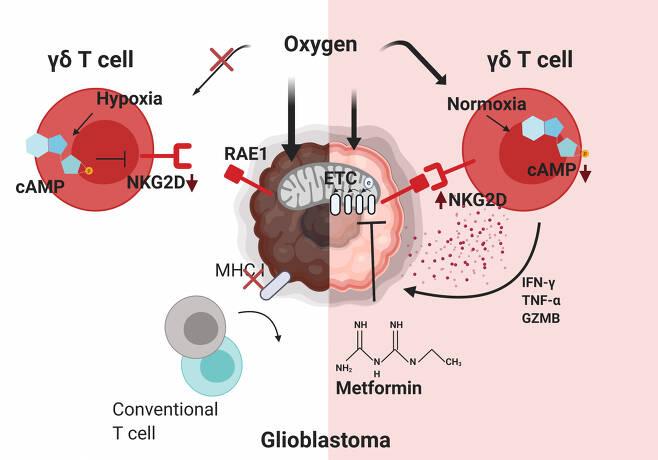 감마델타 T 세포의 항뇌종양 면역반응 기전 규명.[KAIST 제공]