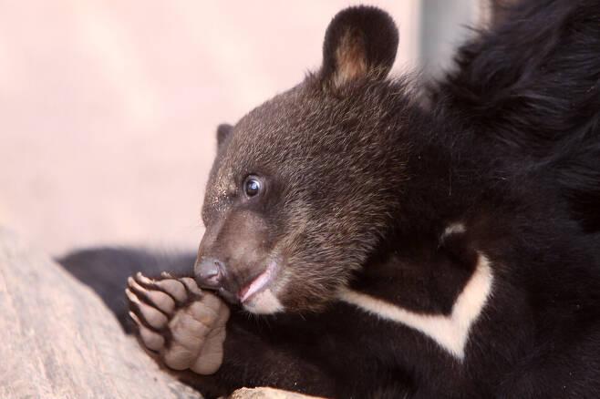 전남 구례에 국내 첫 반달가슴곰 생츄어리가 조성된다. 게티이미지 뱅크