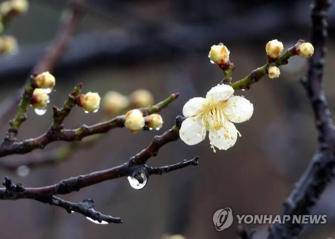 봄비 머금은 매화 [연합뉴스 자료사진]