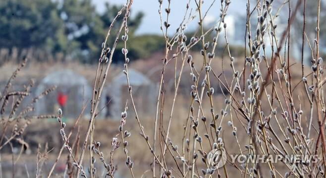 봄소식 전하는 버들강아지 [연합뉴스 자료사진]