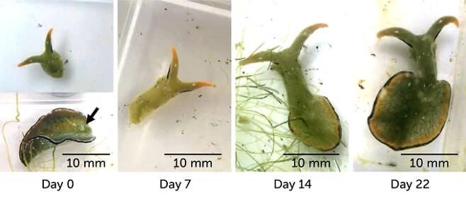 갯민숭달팽이(Elysia cf. marginata)가 몸통을 잘라낸 뒤 22일만에 다시 머리에서 몸통이 자라나는 과정./커런트 바이올로지