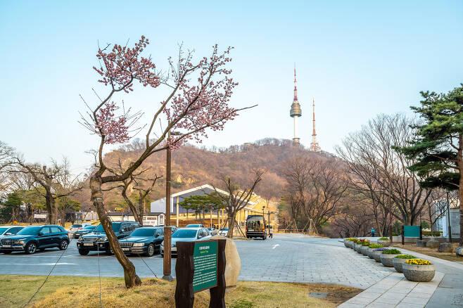 남산타워를 배경으로 선 와룡매 홍매화