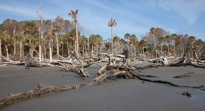 해수면 상승으로 바닷가 나무들이 죽으면서 이른바 '유령 숲'이 생기고 있다. [사진=NOAA]