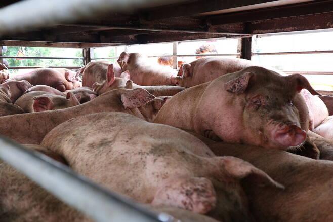도살장 앞에는 수십 명(命)의 동물들을 빽빽하게 가둔 이층 트럭도 있었고, 엄마 돼지인지 덩치가 아주 큰 동물이 홀로 외롭게 갇혀있는 작은 트럭도 있었다. 사진 서울애니멀세이브 제공