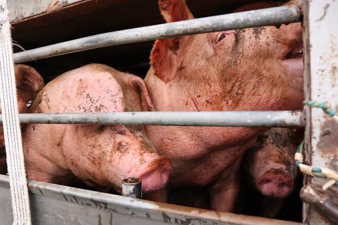 트럭 안에서 몸부림 치며 상처 입은 돼지들의 모습. 사진 서울애니멀세이브 제공
