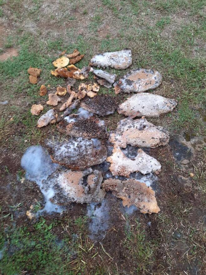 미국 텍사스주에서 마당 잔디를 깎던 70세 노인이 수많은 벌떼의 공격을 받고 사망하는 사고가 발생했다. 사진은 나무에서 발견된 벌집. /사진=브레큰리지 소방청 페이스북