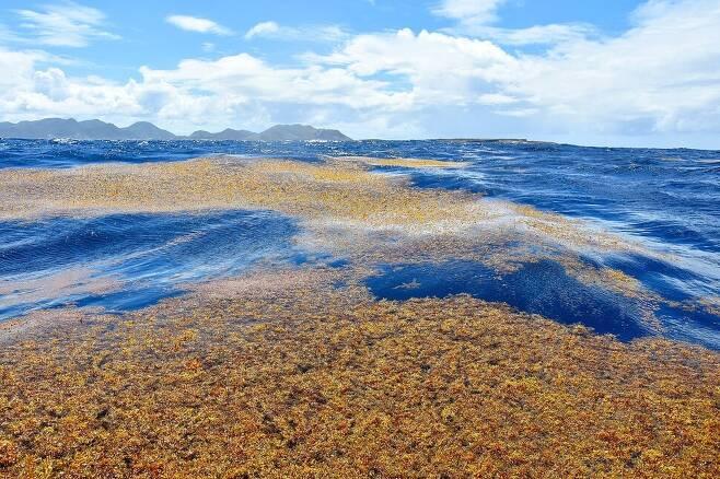 사르가소해의 모자반 해조류가 폭풍으로 해안으로 밀려온 모습. 벨리 미셸, 위키미디어 코먼스 제공