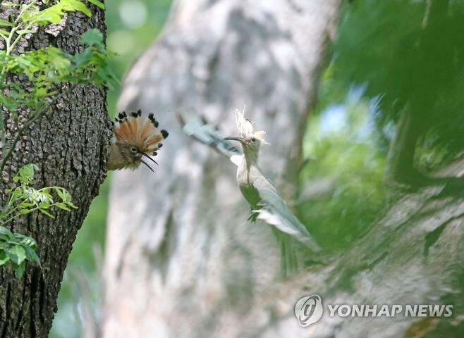하얀 후투티 (경주=연합뉴스) 손대성 기자 = 12일 경북 경주시 안강읍 옥산서원 인근 나무에서 하얀색 후투티가 새끼에게 먹이를 주고 있다.      일반적으로 후투티는 검은색과 흰색 줄무늬가 있는 날개와 꽁지, 검은색의 긴 댕기 끝을 제외하면 머리와 몸통은 갈색을 띤다.      하얀색 후투티가 발견된 것은 극히 드문 일이다. 2021.5.12 sds123@yna.co.kr