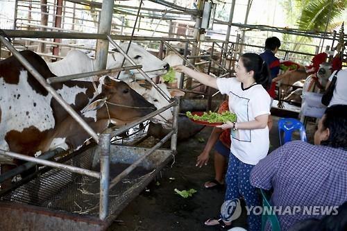 암소에게 먹이를 주는 태국 여성(자료사진) [EPA=연합뉴스]
