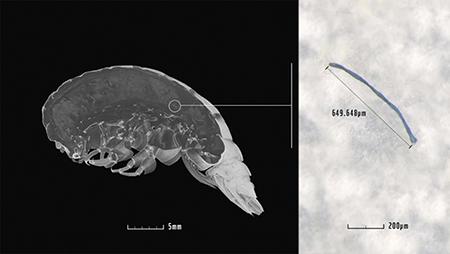 마리아나해구에서 발견된 새로운 종의 갑각류(왼쪽)와 소화기관에서 발견된 플라스틱 조각. [포브스 캡처]