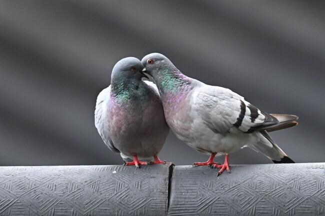 인천남동구동물보호연대는 비둘기의 생태를 조사해 시간과 장소를 제한해 불임사료를 공급할 예정이다. 한겨레 자료사진