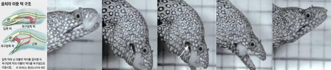 곰치의 이중턱 구조(왼쪽)와 사냥 모습. 1차로 입쪽 턱이 먹이를 물고 2차로 목안에서 작은 턱(화살표)이 나와 먹이를 목구멍 안으로 끌어당긴다./UC데이비스