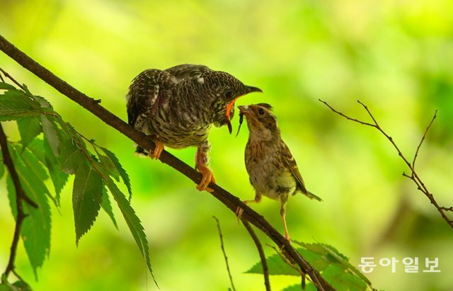 둥지를 떠난 뻐꾸기 새끼 근처 나뭇가지에서 노랑턱멧새 어미로부터 먹이를 받아먹고 있습니다. 경기 광명시, 2016년 6월 30일 촬영. 생태사진가 전창열 씨 제공.