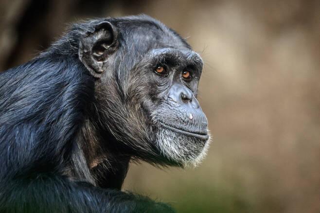 야생의 침팬지(자료사진) 무리가 고릴라 무리를 공격하고 죽은 사체를 먹는 모습이 포착됐다. 전문가들은 기후변화로 인한 먹이 부족으로 경쟁이 심화되면서 발생한 현상으로 해석하고 있다. 123rf.com