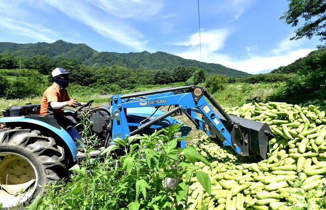 노지 애호박 전국 최대 주산지인 강원도 화천군의 농민들이 가격이 폭락한 애호박을 트랙터를 이용해 산지 폐기하고 있다. 화천군 제공