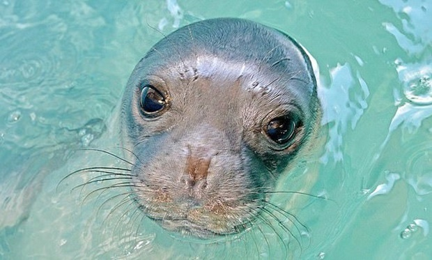 코스티스는 2018년 열대성 저기압이 그리스 전역을 강타했을 때 에게해 인근 폴게라도섬에서 어부에 의해 구조됐다. 당시 생후 2주 된 새끼였던 데다 어미도 사라진 상태라 죽을 줄로만 알았지만, 사람들 보살핌 속에 무사히 고비를 넘기고 자연으로 돌아갔다. 자신을 살린 어부 이름을 따 '코스티스'로 불리게 된 물범은 그 후로 알로니소스섬 주민들의 사랑을 독차지하게 됐다.