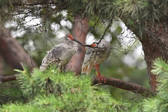 다정한 따오기 부부. 수컷이 애정 표현을 하고 암컷은 흔쾌히 받아들인다.
