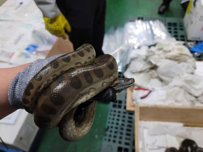 인천본부세관이 불법 수입한 생태계 위협생물 총 173개체를 적발했다. 사진은 적발된 그린아나콘다. /사진=인천본부세관