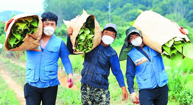KT&G 임직원 봉사단원들이 지난 13일 충남 아산시 둔포면 농장에서 농민 최정근씨(가운데)와 함께 수확한 잎담배를 옮기고 있다. 이들이 들고 있는 잎담배 한 포대의 무게는 30㎏이나 된다. 이날 KT&G 임직원 30여명은 5000평 농장에서 5700kg의 잎담배를 수확했다.