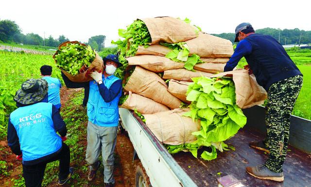 봉사자들이 수확한 잎담배를 트럭으로 옮기고 있다. 이날 수확한 물량은 건조작업을 거쳐 KT&G가 전량 수매한다.